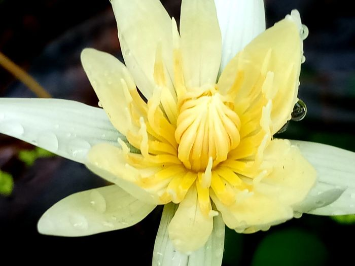 Lotus Flower Beauty In Nature Close-up Day Flower Flower Head Focus On Foreground Fragility No People Outdoors RainDrop Water Yellow