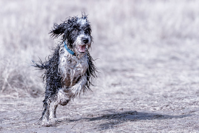 A wet and happy Springer Spaniel running and jumping Dog Dogs Springer Spaniel Canine One Animal Pets Animal Animal Themes Domestic Domestic Animals Mammal Running Focus On Foreground Motion Wet No People Portrait Outdoors Fun Dog Lover Must Love Dogs Happy Happy Dog Wet Dog Jumping Leap Leaping