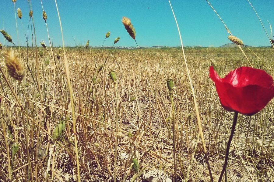 Flwoers Red Fileds Blue Sky Landscape Poppy Spring Into Spring OpenEdit Israel South