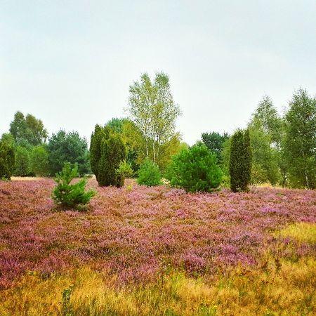 Trotz Regen: die Heide leuchtet! Biketouring Lüneburgerheide Natur Naturschutzgebiet Picoftheday Draußen Outdoor