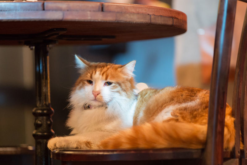 Cat Resting On Chair At Bar