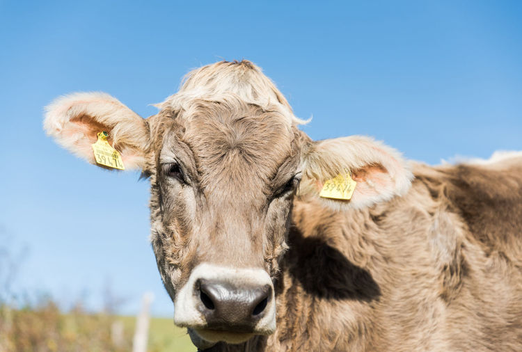 Allgäu Augen Deutschland Jungbulle Tierzucht Blick Fell Landwirtschaft Rind
