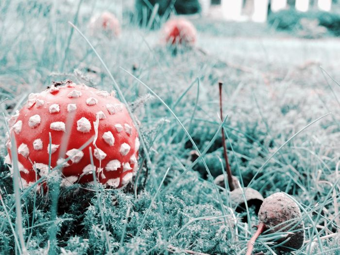 Close-Up Of Fly Agaric Mushrooms