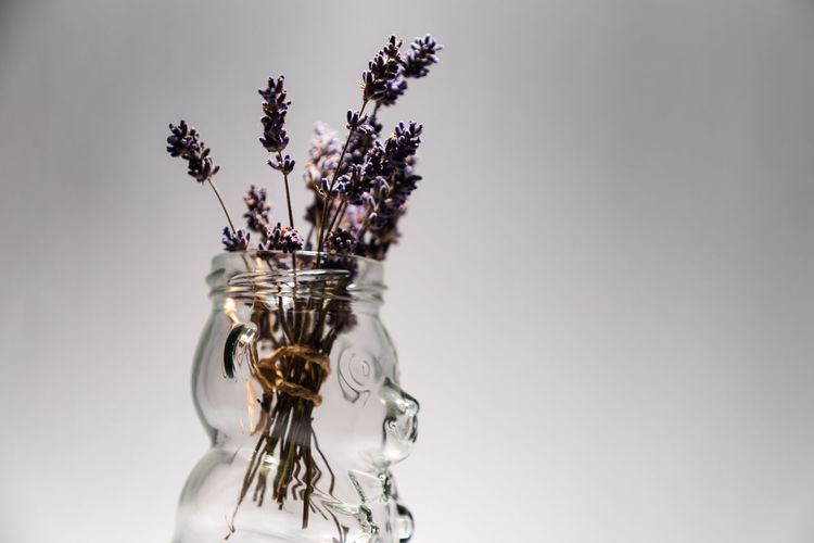 bear shaped jar containing dried lavender Bear Shape Close-up Container Decoration Flower Flowering Plant Fragility Freshness Glass - Material Gray Gray Background Indoors  Jar Lavender Nature No People Plant Purple Still Life Studio Shot Transparent Vase Vulnerability