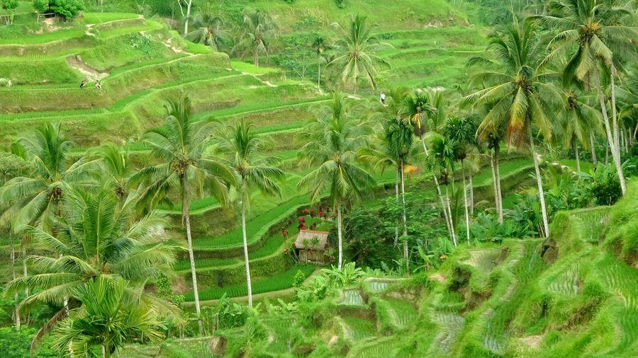 Bali - Tegallalang Bali Ricefields Tegallalang Jeanmart Bali 16:9 Verybalitrip Very Bali Trip