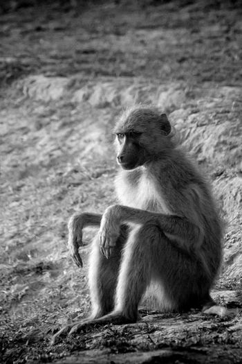 Nature Blackandwhite Sitting Day Outdoors Beauty In Nature Mammal No People Primate Animals In The Wild Focus On Foreground Animal Wildlife Vertebrate EyeEmNewHere The Great Outdoors - 2018 EyeEm Awards The Traveler - 2018 EyeEm Awards Young Animal Land Care