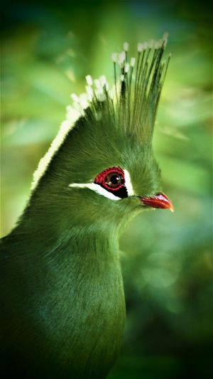 Lucy, Livingstones Turaco, Birds of Eden Livingstones Turaco Animal Animal Head  Animal Themes Animal Wildlife Animal's Crest Animals In The Wild Beak Beauty In Nature Bird Close-up Day Focus On Foreground Green Color Male Animal Nature No People One Animal Outdoors Red Vertebrate