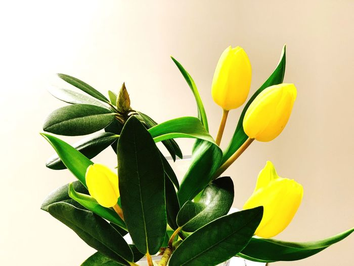 Frühling Stillife Gelbe Blüten🌾 Gelb Tulpen Plant Leaf Plant Part Green Color Beauty In Nature Growth Yellow Close-up Flower Nature No People Studio Shot Indoors