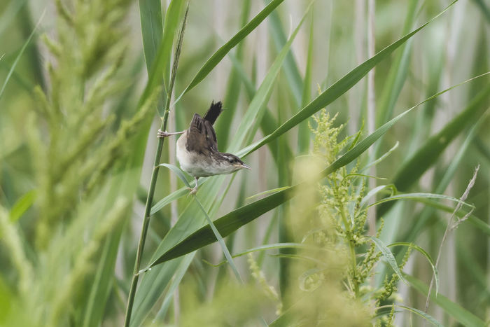 Grasshopper Sparrow Grasshopper Sparrow Animal Animal Themes Animal Wildlife Animals In The Wild Bird Day Field Grass Green Color Growth Land Nature No People One Animal Outdoors Plant Selective Focus Vertebrate