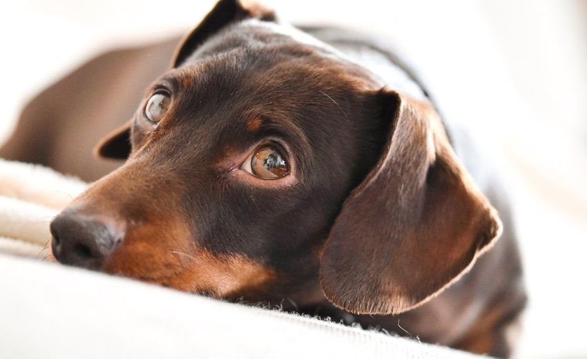 Brown eyes Dog One Animal Pets Domestic Animals Mammal Close-up Looking At Camera Portrait Animal Themes Dachshund No People Indoors  Brown Color Day Pet Photography  Sausagedog Cute Pets Cute Dog  Dogs Of EyeEm Daschund Dogs Brown Eyes