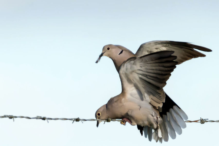 Mourning Doves mating photo series Animal Themes Animal Wildlife Animals In The Wild Animals Mating Bird Bird Photography Birds Mating Birds Of EyeEm  Clear Sky Clear Sky Close-up Day Evening Flying Low Angle View Mid-air Motion Mourning Dove Nature No People Outdoors Perching Photo Series Spread Wings Spring