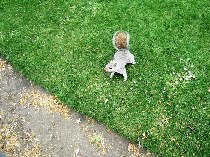 High angle view of eastern gray squirrel on grassy field