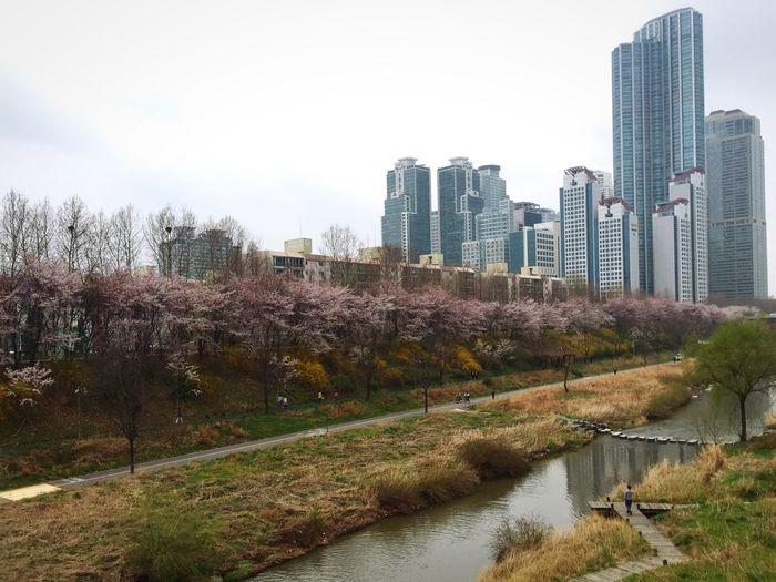 Cherry Blossoms Seoul Yangjae Spring