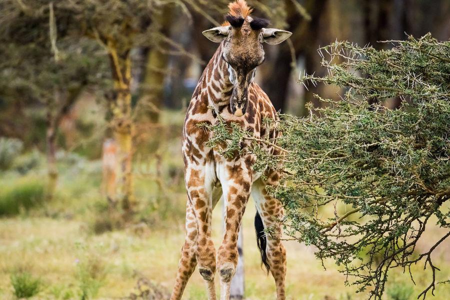 baby giraffe eating at Crescent Island, Lake Naivasha, Kenya Baby Crescent Island Eating Giraffe Kenya Young Africa Animal Themes Animal Wildlife Animals In The Wild Camouflage Game Reserve Hoof Mammal Naivasha Nature Neck One Animal Outdoors Peninsula Thornbush Tree