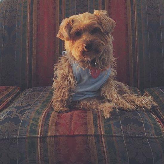 Doesn't she just look like a teddy bear? Nala Pup Teddybear Broseph Tanktop Vscocam Couchsurfers Colorado