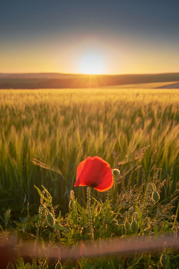 Scenic view of poppy field against sky during sunset