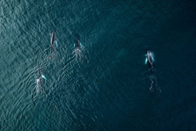 Whales from above in Iceland The Great Outdoors - 2018 EyeEm Awards Day Full Length High Angle View Leisure Activity Lifestyles Marine Men Motion Nature Outdoors People Real People Rippled Sea Sport Swimming Turquoise Colored UnderSea Underwater Water Waterfront