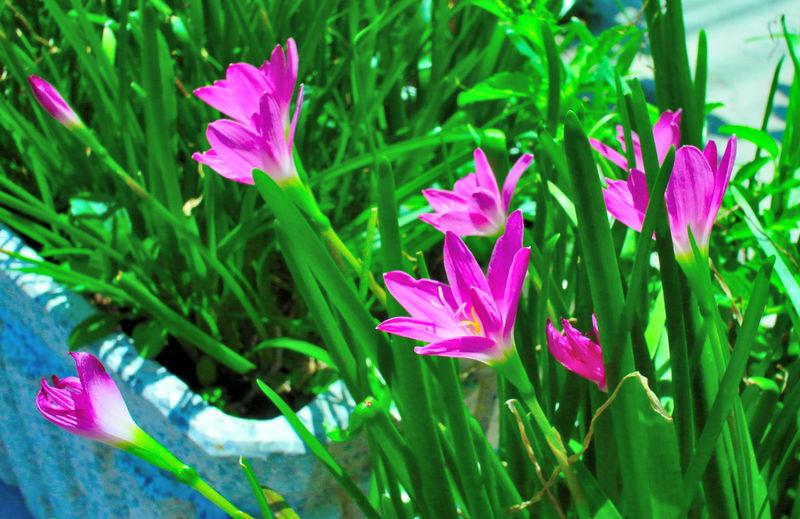 Pink rain lily