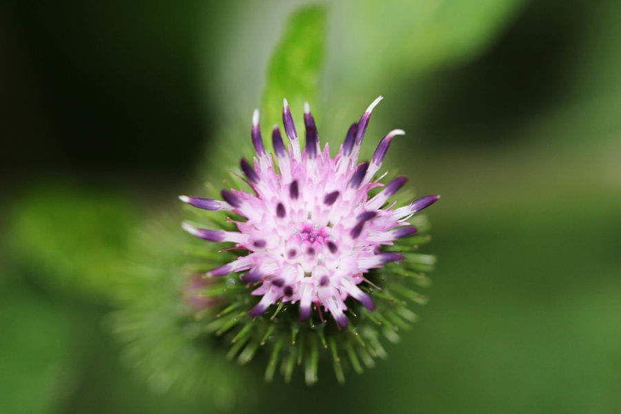 #MacroShot #beauty #blume #green #macro #macro #flower #floral #flora #nature #macrolens #macroworld #Natur #naturelove #schönheit Beauty In Nature Close-up Day Flower Flower Head Fragility Freshness Growth Nature No People Outdoors Plant Purple Thistle
