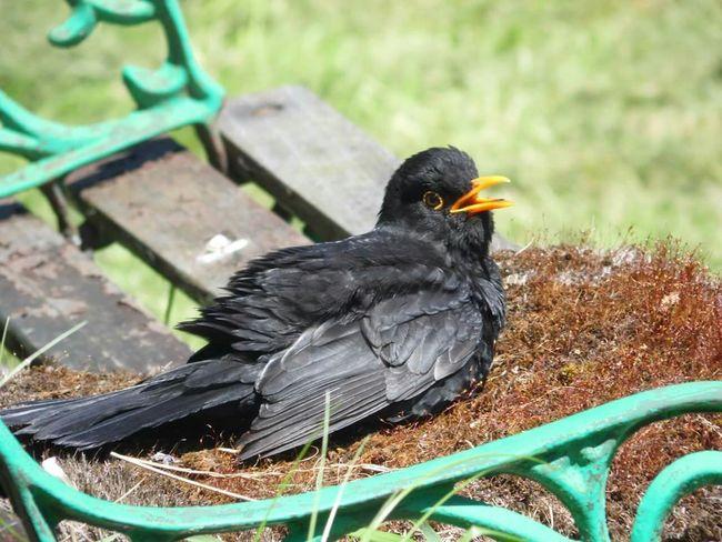 Garden Birds Sunny Day Sunbathing Blackbird