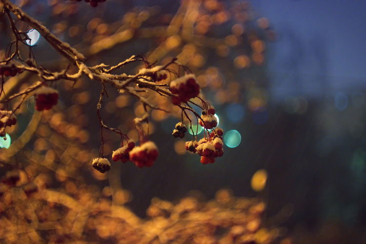 Snowfall covers branches of hawthorn. Helios Retro Lens Autumn Autumn Collection October Hawthorn Hawthorn Berries Bunch Berries Berries On A Branch Snow Snowing Night Lights Nightphotography Bokeh Lights Bokeh Photography Bokeh Background Red Berries Bokeh Bubbles Snow Branches Branch Nature Photography NatureZiesel777 Nature_collection Snowfall EyeEm Nature Lover EyeEm Best Shots - Nature