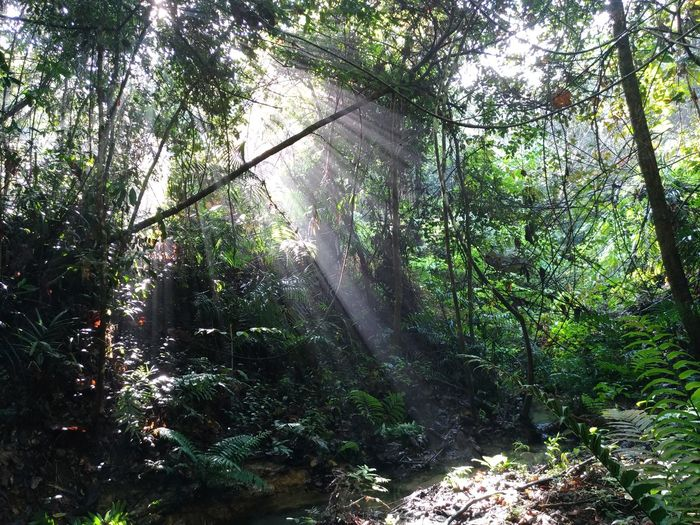 Malaysia Forest Sunrays Beauty In Nature Forest Outdoors Scenics Sun Rays Through Trees Tranquil Scene Tree Treking Nature Photography