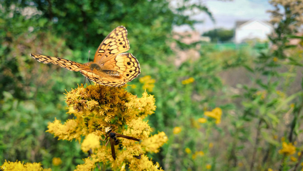 Another Two for One The EyeEm Collection Animal Themes Animal Wildlife Animal Wing Butterfly Butterfly - Insect Flower Flower Head Flowering Plant Flying Focus On Foreground Goldenrod Insect Nature No People Outdoors Plant Spread Wings Two Insects Wasp Winged Insect A New Beginning