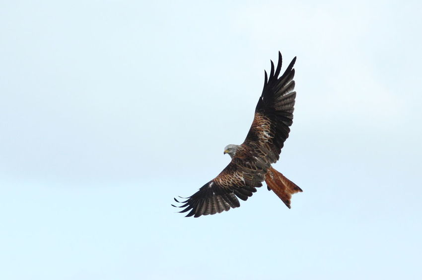 Premium Collection Red Kite Wales Animal Themes Animal Wildlife Animals In The Wild Beauty In Nature Bird Bird Of Prey Clear Sky Close-up Day Flying Low Angle View Mid-air Nature No People One Animal Outdoors Sky Spread Wings Negative Space Soaring Soaring Birds