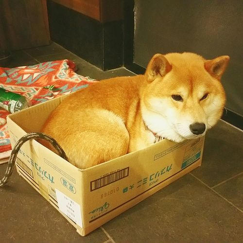 駆くん、小さくない、その箱? 柴犬 富士市 Hello World Shiba Inu 段ボール好き Dog Pets ぴったりサイズ ちょっと窮屈そう