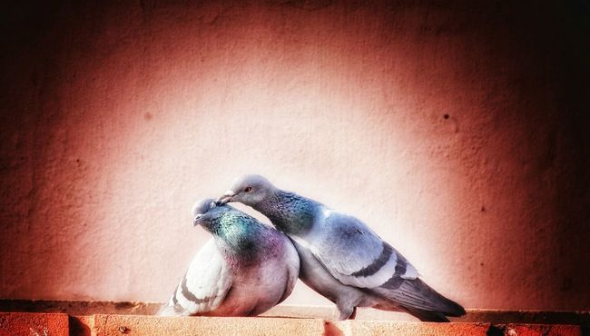Love Birds Desire Love In Nature Nikonphotography Nikon D3400 Love Birds ❤️❤️❤️❤️ Love ♥ Love Birds Pegion Pegion Bird First Kiss Kiss Kiss Me Animal Love Love In The Air Affection ♡ Attractions❤️ One Animal Animals In The Wild Animal Themes Animal Wildlife No People Close-up Sea Life