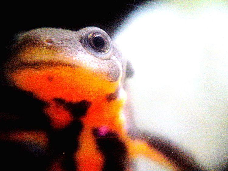 Japanese Fire Belly Newt 両生類 Amphibian アカハライモリ Newt