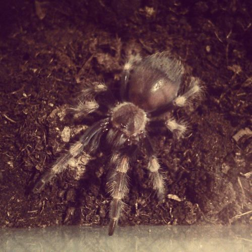 My beauty. Spider Hugo Tarantula Sklipkan love brachypelma beautiful