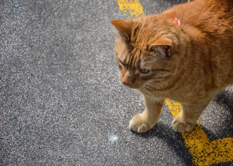 Cross the Line Domestic Cat Domestic Animals Pets One Animal Mammal Animal Themes Feline Cat No People Outdoors Day Yellow Orange Cat Yellow Line Pavement Crossing The Line Paint The Town Yellow