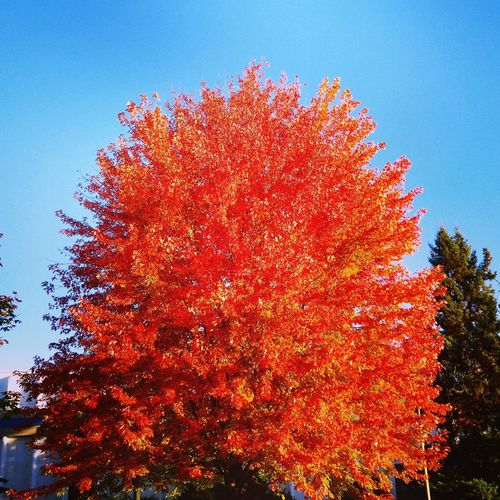 "As my son said the other day; ""The tree looks like it's on fire!""... Red Tree Sky Nature Outdoors Beauty In Nature Seasons Tree Blue Sky Fall Beauty Clear Sky Scenics Fall Colors Enjoying Life Fall Season Fall Autumn Ilovefall Godsbeauty FireTree Blue Courtyard View Beatyintheurban"