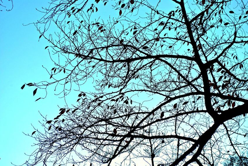 Bare Tree Beauty In Nature Blue Branch Clear Sky Day Flower Freshness Growth Low Angle View Nature No People Outdoors Sky Tranquility Tree