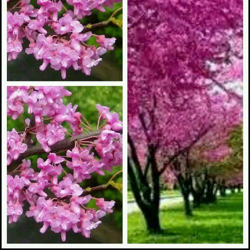 Judas Erguvan / Judas Tree Erguvan Flowers