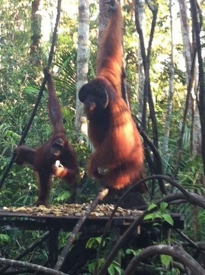 orangutanes en libertad