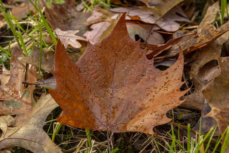 A fallen maple leaf on a beautiful autumn day. Close-up Macro Foiage Leaf Autumn Dry Leaves Nature Field Maple Leaf Leaf Vein Outdoors Grass Falling Natural Condition Dried Minimal Botany Environment Season  Beautiful Forest WoodLand Serene Tranquility