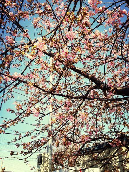 風邪との闘いを終えて、外に出れば桜が咲き始めてる☆