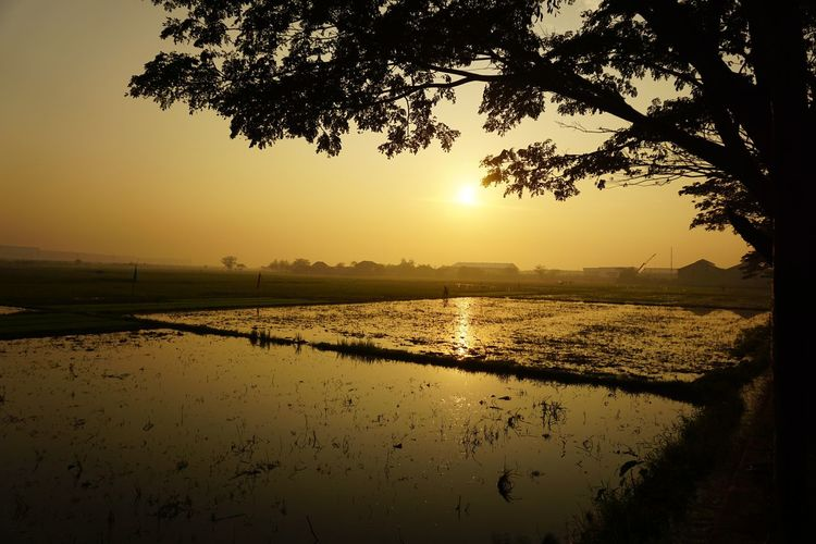 sunrise always nice to see Sunrise Sunny EyeEm Selects EyeEm Best Shots EyeEm Nature Lover EyeEm Gallery EyeEmBestPics Eyeemindonesia Rice Field Tree Water Lake Silhouette Reflection Rice Paddy Sunlight Sky Landscape Sun Sunbeam Calm EyeEmNewHere My Best Photo
