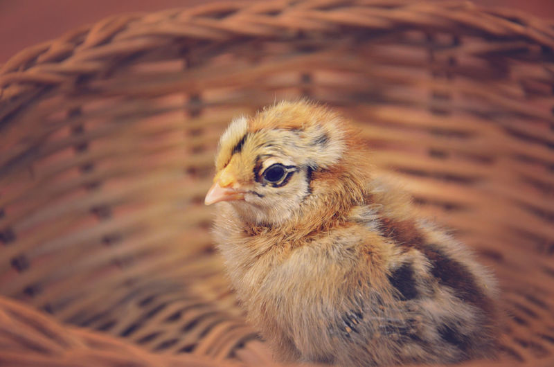 Ameraucana Chick Ameraucana Animal Themes Animals Baby Chick Chicken Cute Farm Farm Life