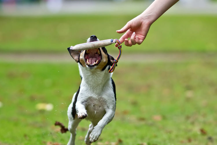 Dog tries to catch a training dummy, jumping at it Catching A Show Animal Themes Close-up Day Dog Domestic Animals Dummy Field Focus On Foreground Food Grass Holding Human Body Part Human Hand Mammal Motion Nature One Animal One Person Outdoors People Pets Real People Training