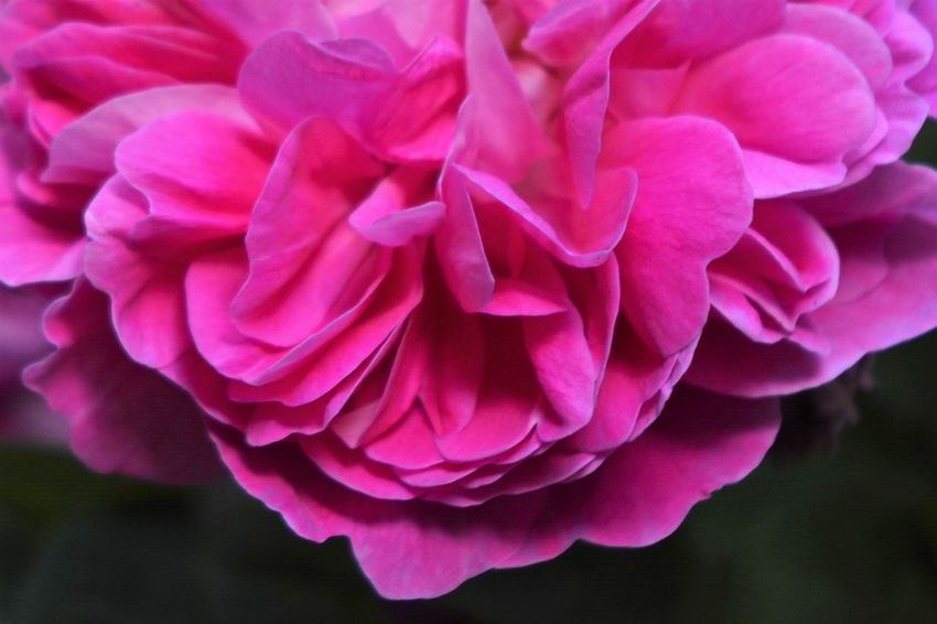 Dark Beauty In Nature Blooming Close-up Dark Background Day Flower Flower Head Fragility Freshness Growth Nature No People Outdoors Peony  Petal Pink Color Plant Rose - Flower Roses Rose🌹 Trioplan Trioplan 50mm Trioplan50