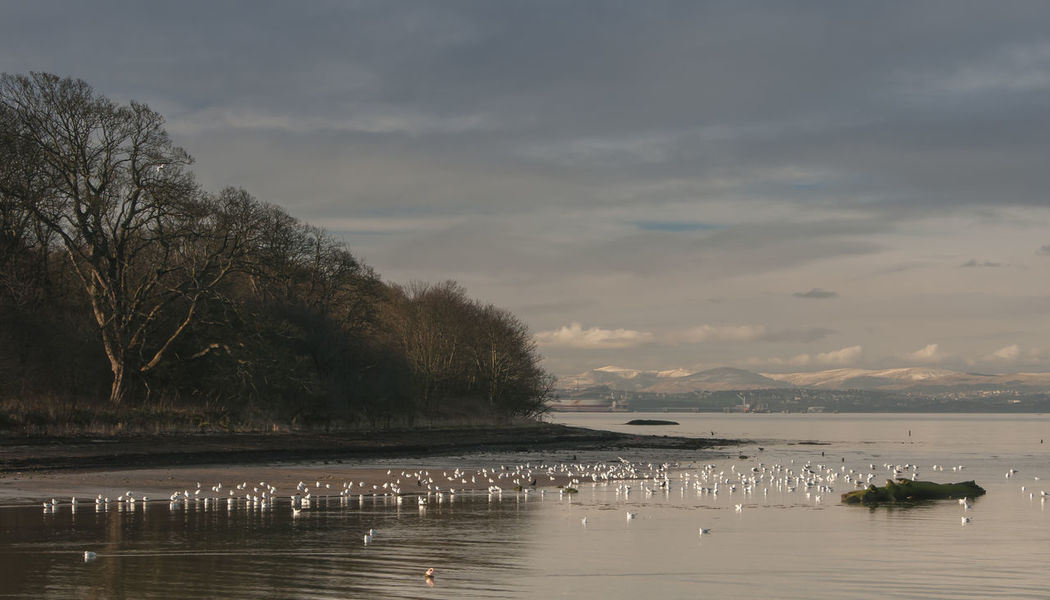 Early Winter down at the River Almond in Cramond, Edinburgh, Scotland. Cramond Scotland Animal Themes Animals In The Wild Beauty In Nature Bird Cloud - Sky Day Lake Large Group Of Animals Nature No People Outdoors River Almond River Estuary Scenics Sky Swan Swimming Tranquil Scene Tranquility Tree Water Shades Of Winter