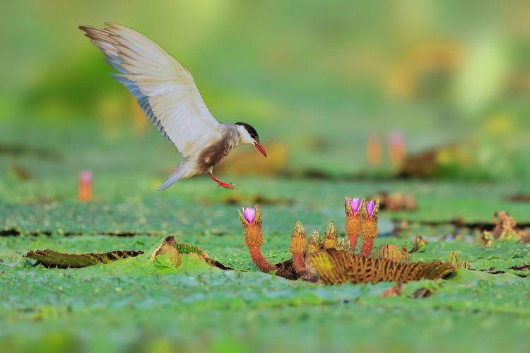 赏花 Bird Spread