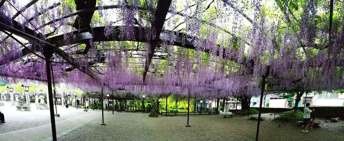 Wisteria Flower Beauty In Nature Natural Monument Kurogi No People EyeEmBestPics Festival