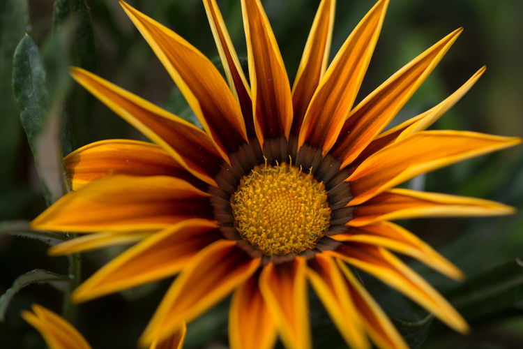 Close-up of gazania blooming on plant