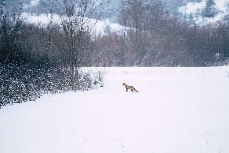 Fox on snow field during winter
