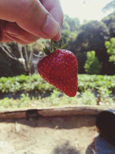Strawberry 🍓 :) Human Hand Holding Human Body Part Fruit Real People Focus On Foreground Close-up Red Food Food And Drink One Person Freshness Healthy Eating Day Outdoors Fly Agaric Mushroom Strawberry Fresh Farm Refreshing :)