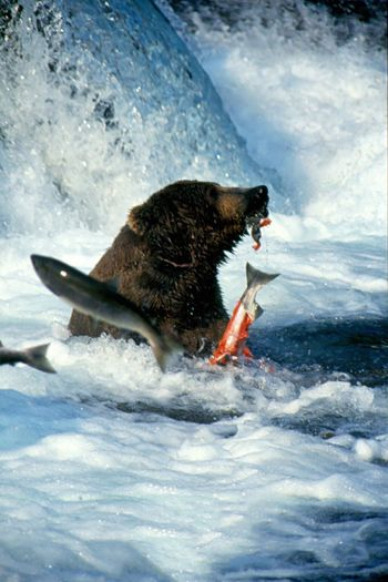 Brooks River Alaska Grizzly Bear Katmai National Park Brooks Falls Katmai Grizzley Bear Fishing Salmon Salmon Sashimi